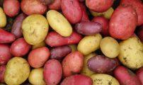 Poteter i farger DSCN6705 Kristin Sorensen