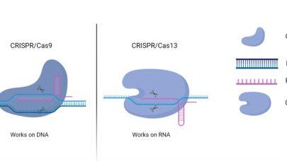 CRISPR Fig 3 Komoponenter av CRISPR Cas