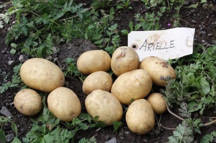 Arielle IMG 2920 kompr